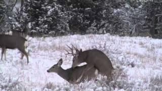 Repeat youtube video Rutting Buck