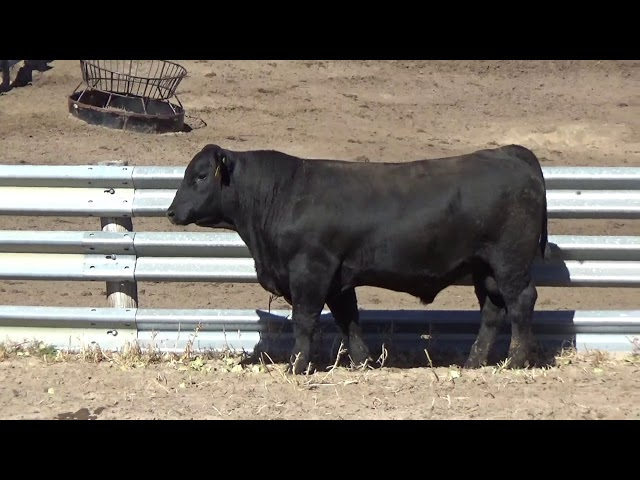 Connealy Angus Lot 152