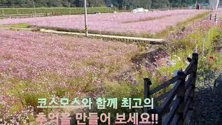 하동 북천 코스모스 메밀꽃 최고의 추억을 만드세요.