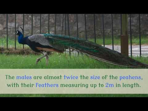 14 Unknown Facts You Should Know About Peacock
