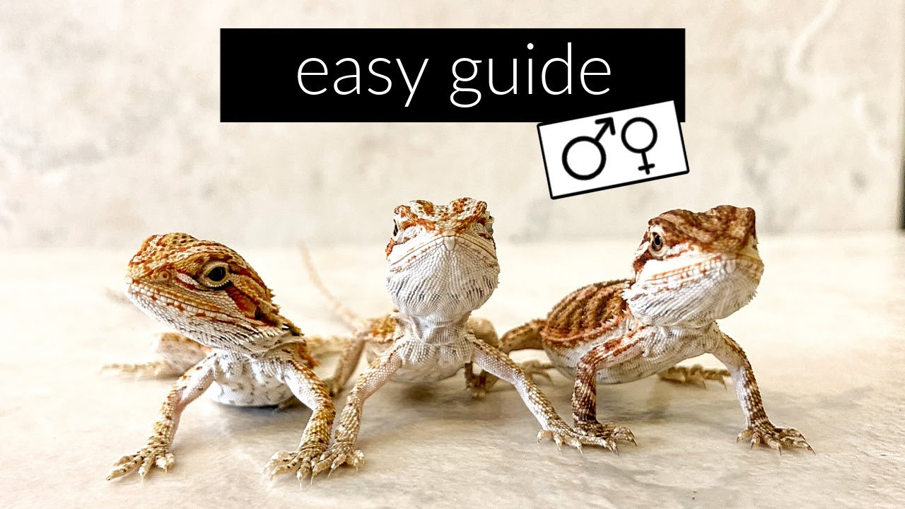 How to Find the Sex of Your Bearded Dragon