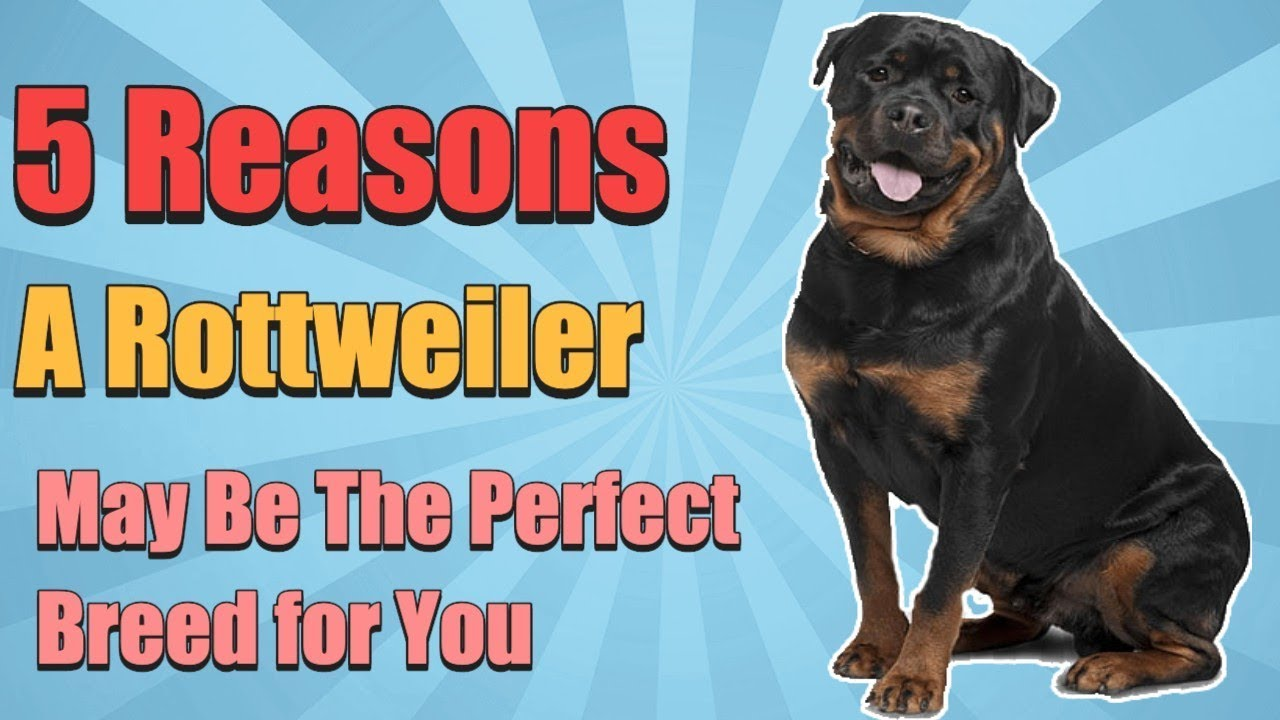 5 Reasons To Have A Rottweiler