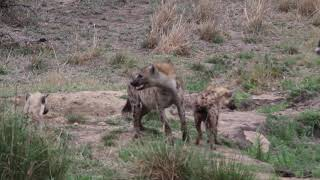 African Wild Dog vs Spotted Hyaena