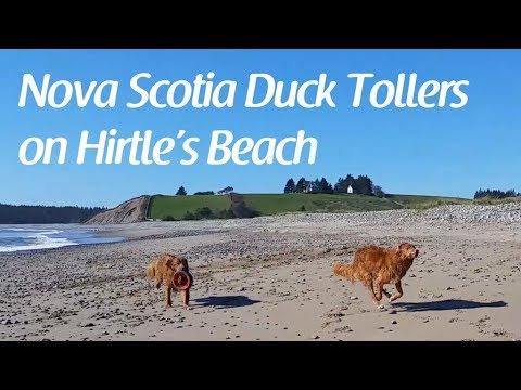 Nova Scotia Duck Tollers on Hirtles Beach