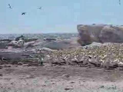 Lambert's Bay - Bird Island #1