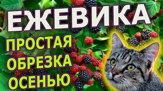 ОБРЕЗКА ЕЖЕВИКИ ОСЕНЬЮ / ЕЖЕВИКА ТОРНФРИ БЛЕК САТИН