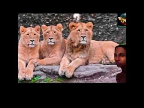 3 Lions Rescue 12 Year Old Girl Kidnapped By 7 Men in Ethiopia
