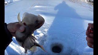 ВОТ ЗА ТАКИМИ ГОРБАЧАМИ МЫ СЮДА И ШЛИ Крупный окунь на балансир Первый лед 2019 perch fishing