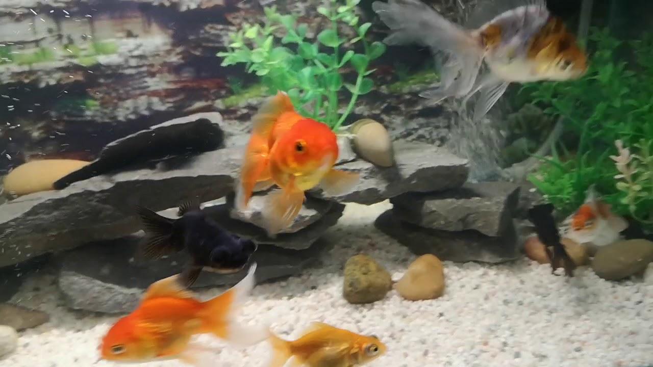 Download Top filter biru serta top filter diy untuk Aquarium Ikan Emas saya. Blue top filter box Goldfish.