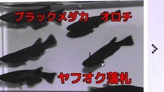 7月末ヤフオクでオロチメダカ落札しました。5匹+3匹 8匹9000円...