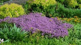 видео Богородская трава лечебные свойства фото