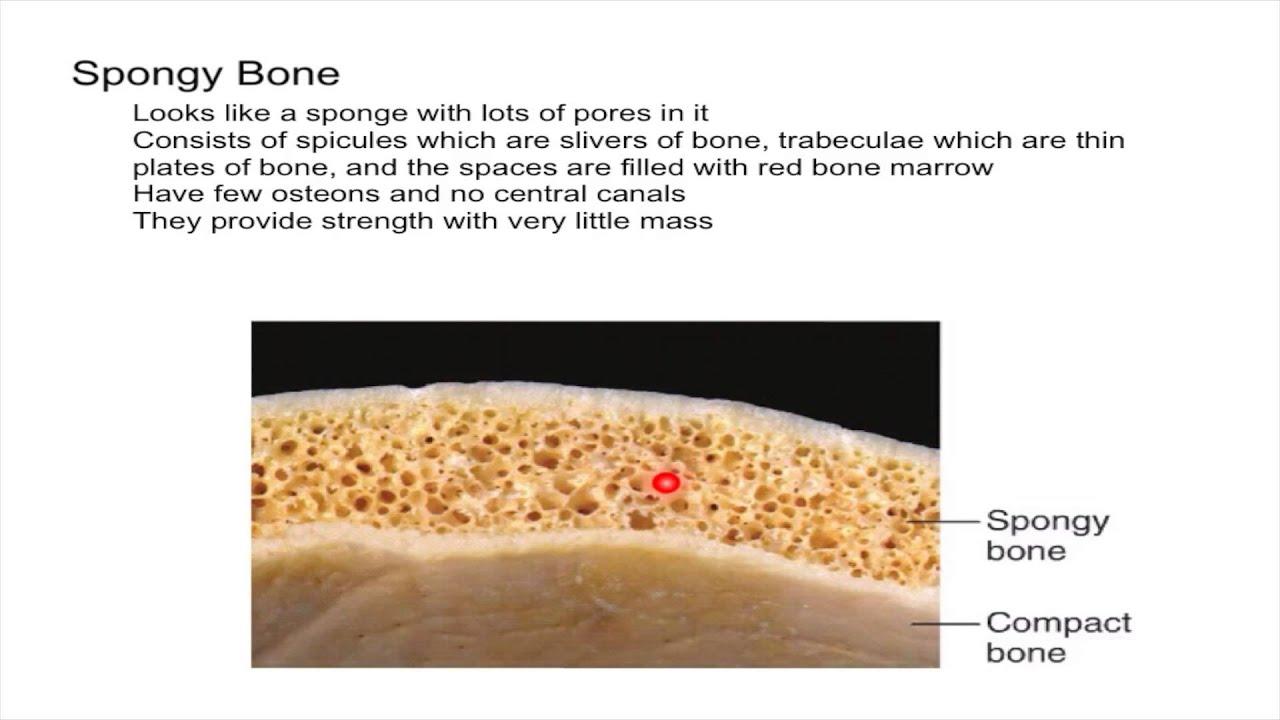 Spongy Bone Youtube