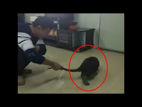 BIGGEST RAT EVER ! Unbelievably Huge Rat Caught In China thumbnail
