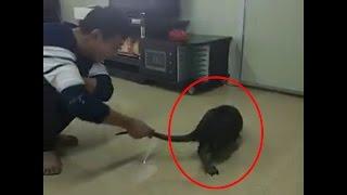 BIGGEST RAT EVER ! Unbelievably Huge Rat Caught In China