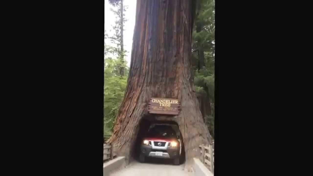 Chandelier drive thru tree california redwood forest youtube chandelier drive thru tree california redwood forest arubaitofo Images