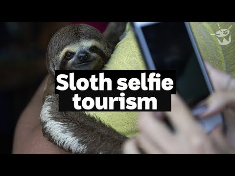 HACK: The dangers of sloth selfie tourism