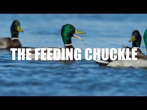 Mallard Calling — Feeding Chuckle