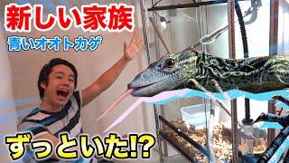 【巨大】シルク宅に珍しい青いオオトカゲが家族としてずっといた!?