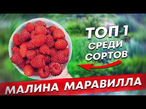 МАРАВИЛЛА ТОП-1 в мире среди сортов малины.