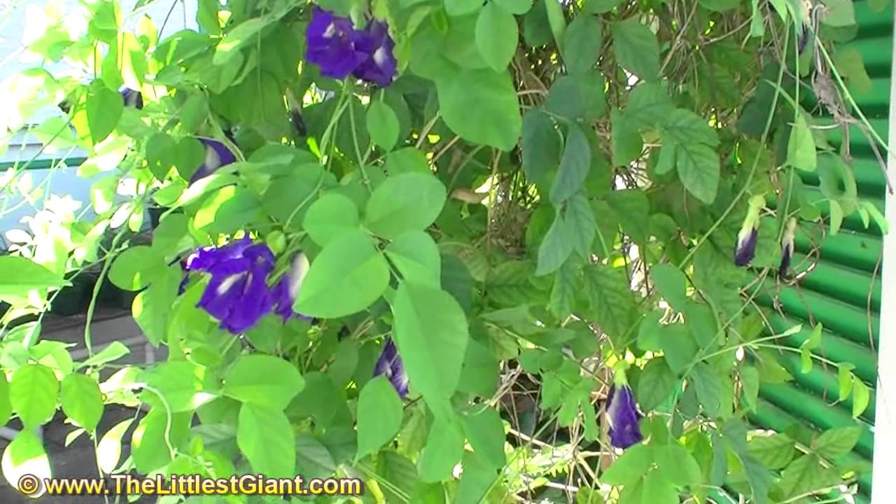 Blue pea butterfly vine youtube izmirmasajfo Images