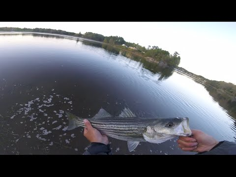 First Striper Of 2016 | Saco River | Schoolies On Poppers