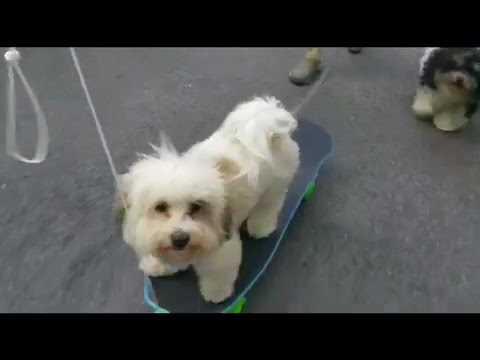 Pinto the 9 month old Havanese dog learning to skateboard