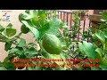 03 Control Crecimiento Limones Eureka en Limonero Cultivo en Maceta 180915 Huerto Urbano Luis Servia