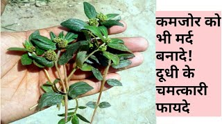 दूधी: लाखों बिमारियों का इलाज है इस पौधे में BENEFITS OF DUDHI || MILK HEDGE || dudhi ke fayde