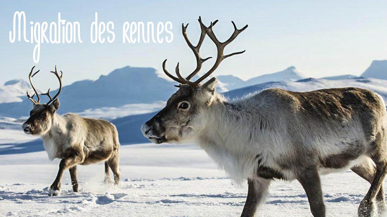 Migration des rennes entre la norv ge et la finlande une for Salon de la gastronomie rennes