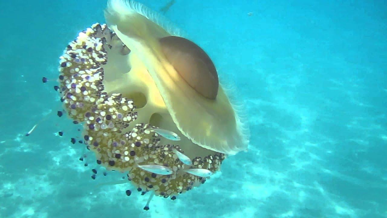Samos Fried egg jellyfish