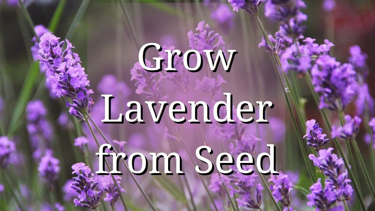 Grow Lavender From Seed Youtube
