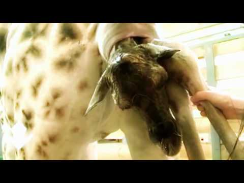 funny-videos-try-not-to-laugh-impossible-challenge-☼-baby-giraffe-birth-live-in-zoo-so-cute!