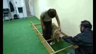 Эндопротезирование локтя у собаки при дисплазии.