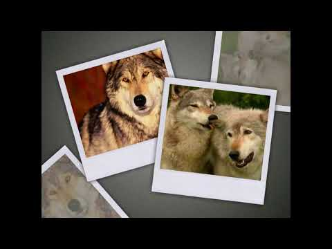 Волк — родовой символ Славян.