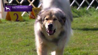 Tibetan Mastiffs | Breed Judging 2021