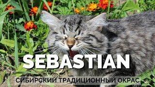 Сибирский котенок  - Сенечка