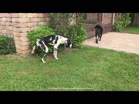 Great Dane Puppy Has A Big Boy Pee