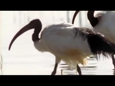 Nile Ibis Birds Create Swimming Pools | BBC Earth