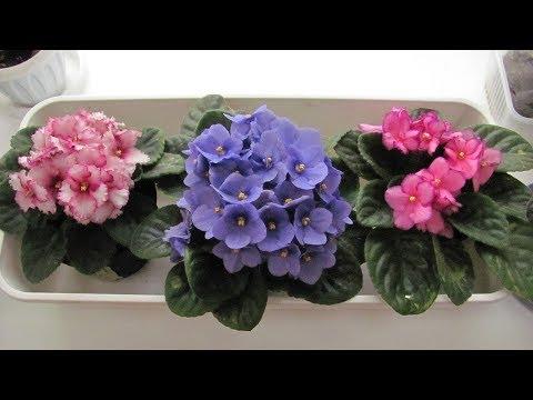 Как пересаживать комнатные цветы.  Пересадка фиалки, декабриста и комнатной розы