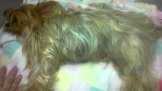 Eclampsia #2-the Faery Dog Mother Yorkies, Maltese And Hybrid Puppies