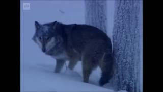 Susi (Canis Lupus)