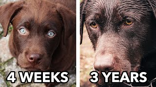 From Puppy to Dog | A Labrador Story
