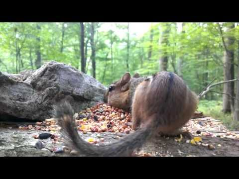 Eastern Chipmunk (Video for dogs and cats to watch...)