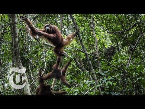 Waking Up On An Orangutan Island | The New York Times