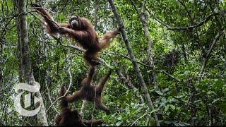 Waking Up On An Orangutan Island   The New York Times