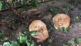 День рыжих котов