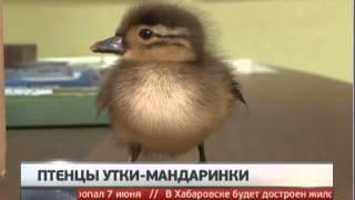 Птенцы утки-мандаринки найдены на трассе. Новости. Gubernia TV