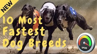 The 10 Fastest Dog Breeds On This Planet