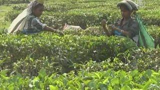 чайный бизнес в Индии  под угрозой из-за изменения климата (новости)