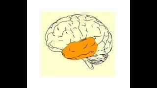 Temporal lobe of cerebrum : sulci & gyri